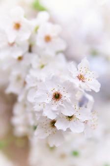 Fleur d'arbre blanc de printemps. composition naturelle.