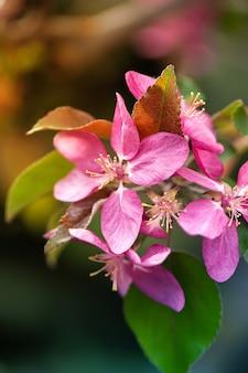 Fleur d'arbre rose dans le jardin.