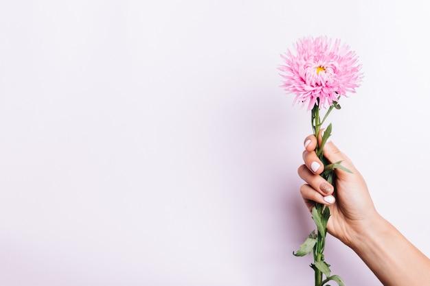Fleur d'aster rose dans une main féminine avec une manucure sur fond rose