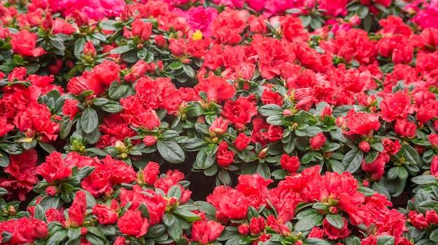 Fleur d'azalée rouge dans un jardin.