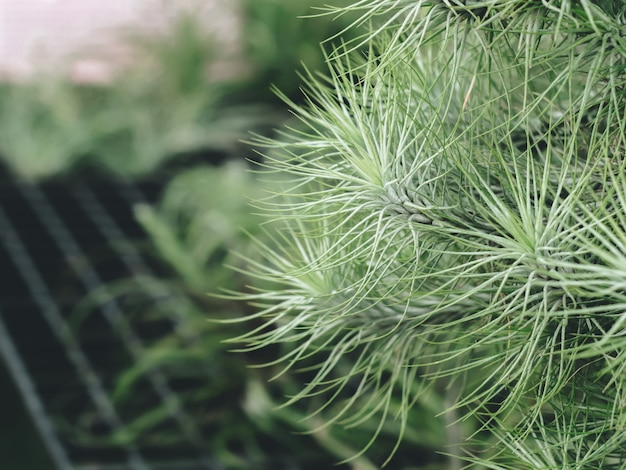 Fleur de barbe à papa tillandsia (bromeliad) avec jardin vert, plante unique