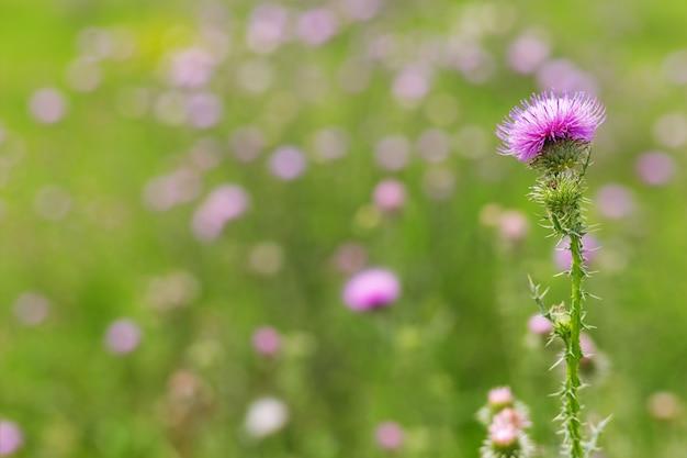Fleur de bardane sur la pelouse. fleur de forêt naturelle. wait-a-bit plante dans la nature