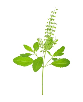 Fleur de basilic sur blanc