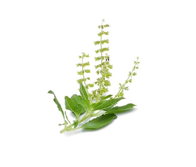 Fleur de basilic sur fond blanc