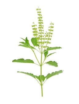 Fleur de basilic frais isolé