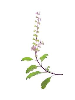 Fleur de basilic isolé sur blanc