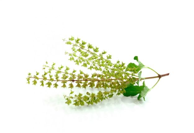 Fleur de basilic isolé