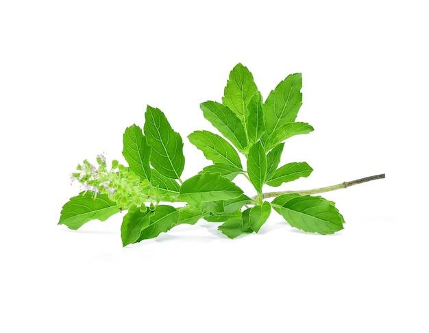 Fleur de basilic, tige et feuilles isolées sur fond blanc