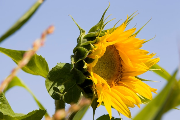 Une fleur d'un beau tournesol annuel jaune dans le domaine de l'agriculture pour la culture des oléagineux close up