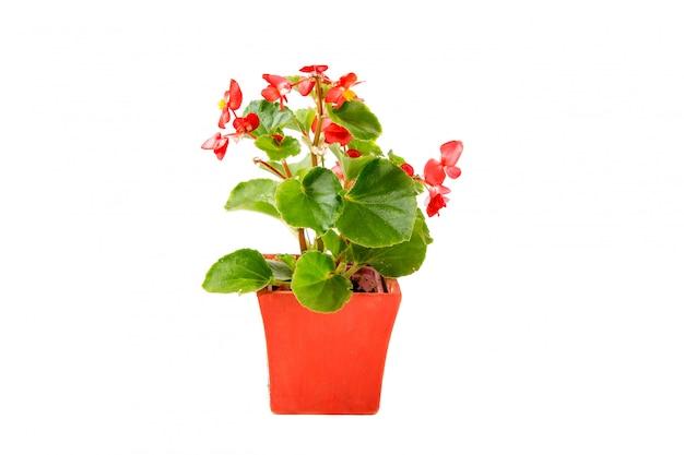 Fleur de bégonia en pot sur blanc.