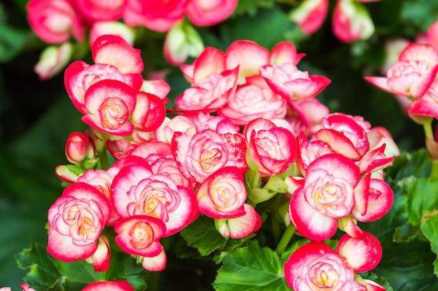 Fleur de bégonia rouge et blanc dans le jardin