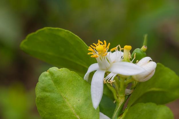 Fleur de bergamote sur arbre