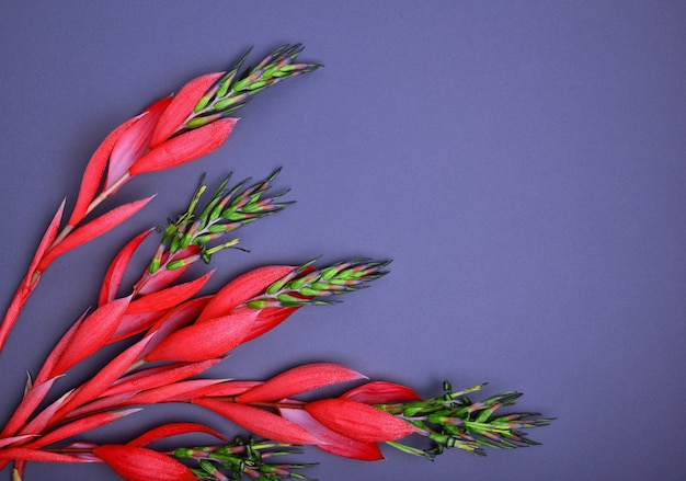 Fleur de billbergia rouge