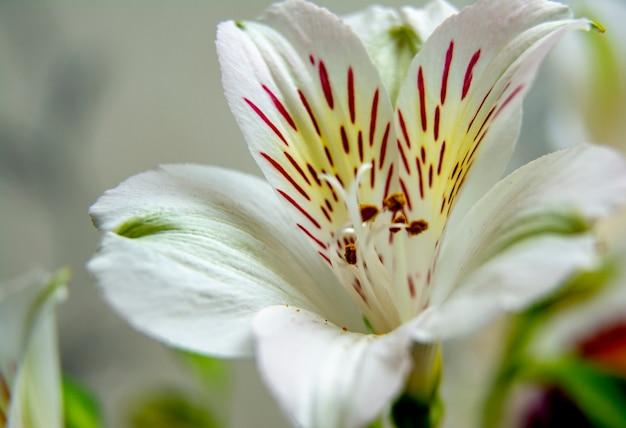 Fleur blanche / alstroemeria blanc fleurs / lys motif floral pour carte de voeux