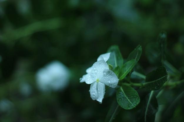 Fleur blanche (catharanthus roseus)
