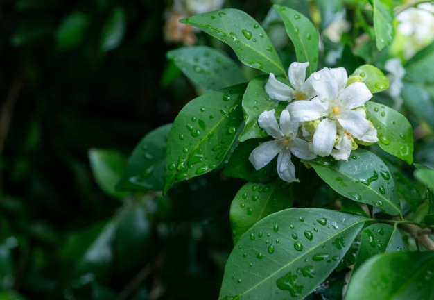 Fleur blanche, jessamine orange, avec fond vert et bokeh