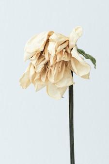 Fleur blanche séchée sur fond blanc