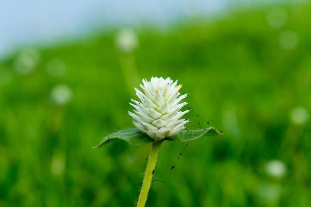 Fleur blanche avec toile d'araignée noire