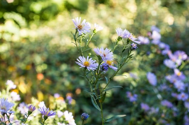 Fleur bleu santbrink dans le jardin. astra virginia en automne