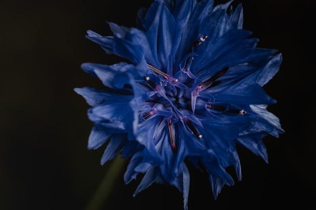 Fleur bleue sur mur noir