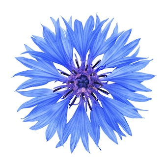 Fleur de bleuet isolé sur une surface blanche avec un tracé de détourage