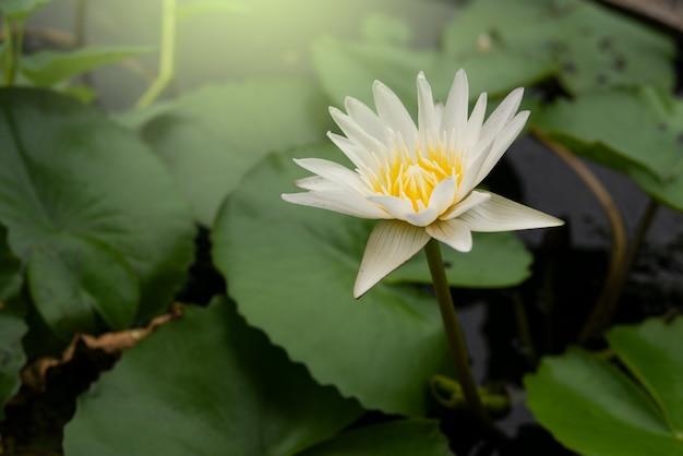 Fleur de botanique lotus fleur blanche dans l'étang