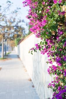 Fleur de bougainvillier rose sur fond de paysage urbain