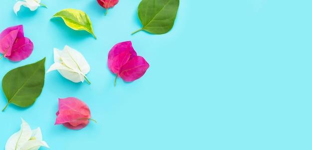 Fleur de bougainvillier rouge, rose et blanc sur une surface bleue