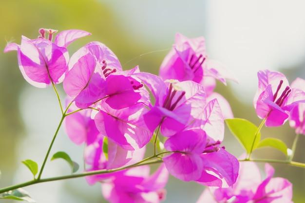 Fleur de bougainvilliers rose dans la nature