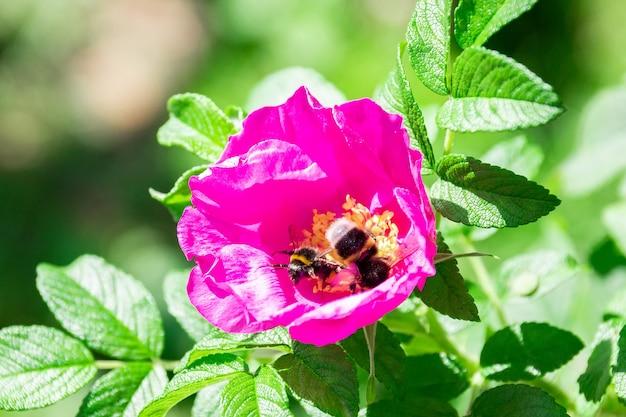 Fleur de bourdon de rose sauvage