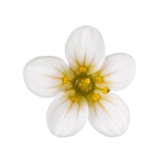 Fleur de bourgeon fleurit saxifraga hypnoides isolé sur une surface blanche.