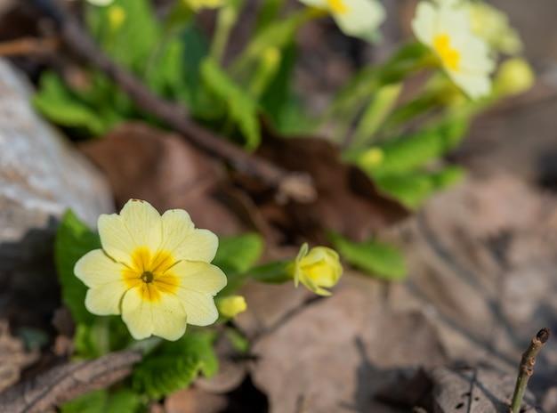 Fleur et bouton de primevère (primula vulgaris) sur une surface naturelle estompée