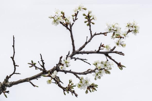 Fleur. branche d'arbre sauvage à la fleur de cerisier sur fond blanc.