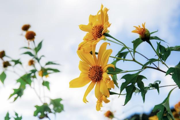 Fleur de bua tong avec ciel.