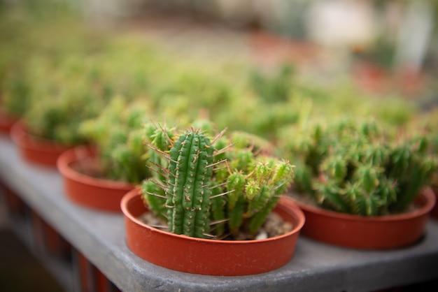 Fleur de cactus dans une ferme de culture