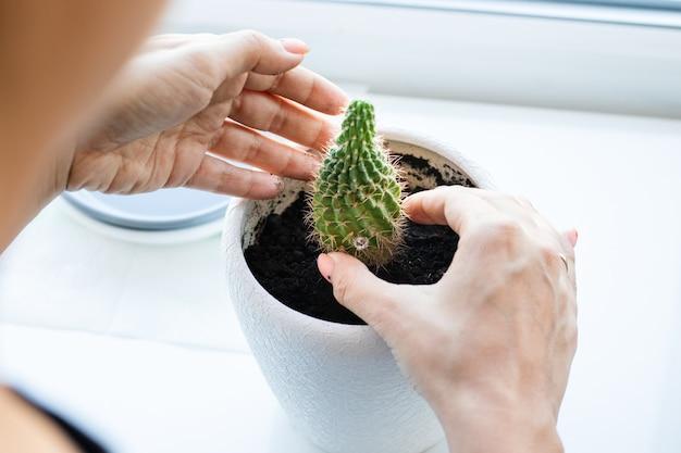 Fleur de cactus dans le pot sur le tableau blanc et fond clair. plantes à la maison et concept d'intérieur. les cactus sont replantés d'un pot de fleur dans un autre.