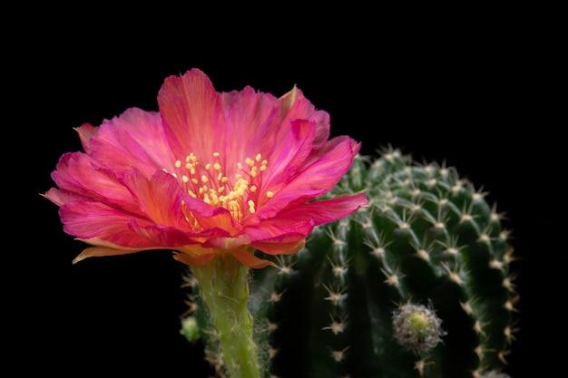 Fleur de cactus fleurissant couleur rouge hybride lobivia