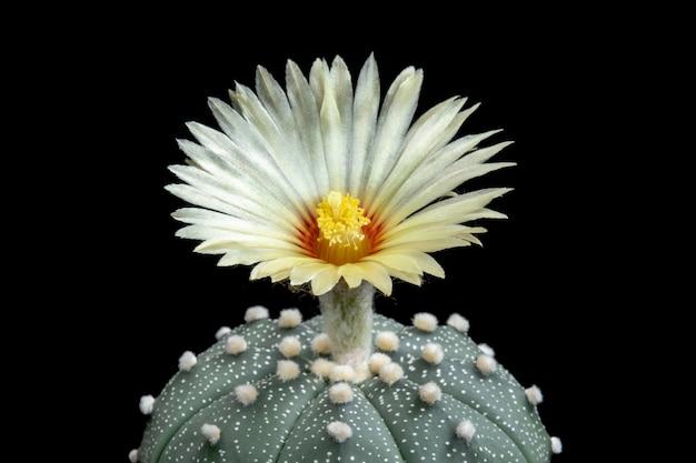 Fleur de cactus en fleurs astrophytum asterias