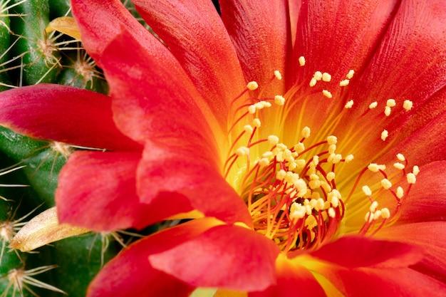 Fleur de cactus en fleurs lobivia hybrid red color