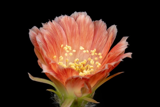 Fleur de cactus en fleurs lobivia hybride de couleur orange