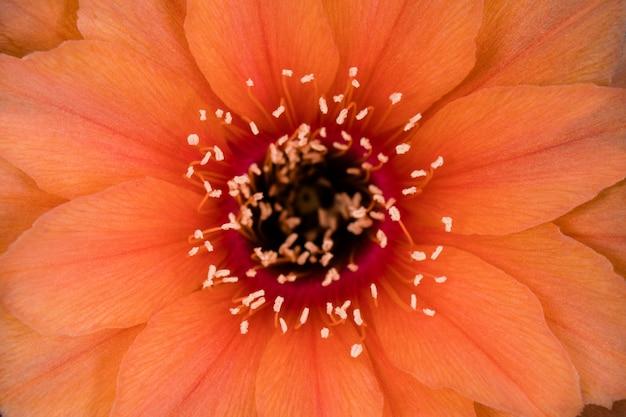 Fleur de cactus en fleurs plein cadre couleur orange