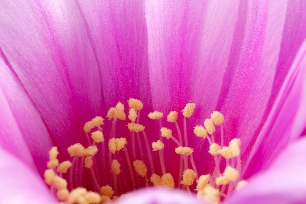 Fleur de cactus en fleurs plein cadre couleur rose