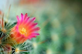 Fleur de cactus macro gratuitement