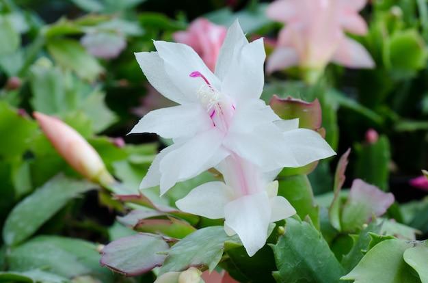 Fleur de cactus de noël qui fleurit dans le jardin