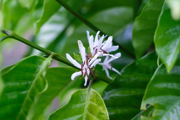 Fleur de caféier avec fleur de couleur blanche après la pluie. robusta
