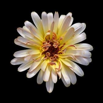 Fleur de calendula isolée