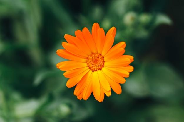 Fleur de calendula