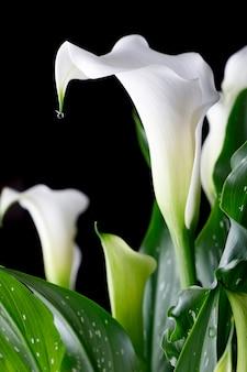 Fleur de calla blanche avec des feuilles vertes sur fond noir