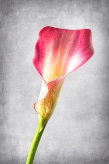 Fleur de calla sur un fond texturé et vintage une fleur de calla délicate sur le côté