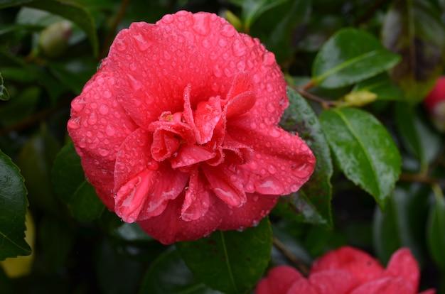 Fleur de camélia en fleurs couverte de gouttes de rosée.